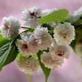 写真: 兼六園菊桜 (3)