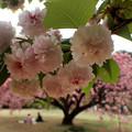 写真: 兼六園菊桜