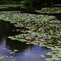 Photos: 睡蓮の池