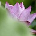 写真: 蓮花 (2)