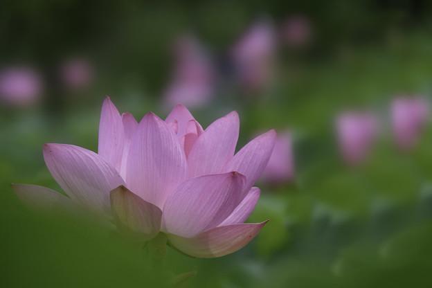写真: 蓮花 (3)