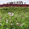 写真: 雨の日「コキアの丘」
