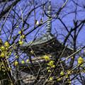 ロウバイ咲く