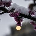 写真: 雪の本門寺 (3)