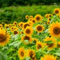 写真: 向日葵畑