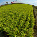 写真: 収穫期1