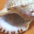 写真: 貝殻