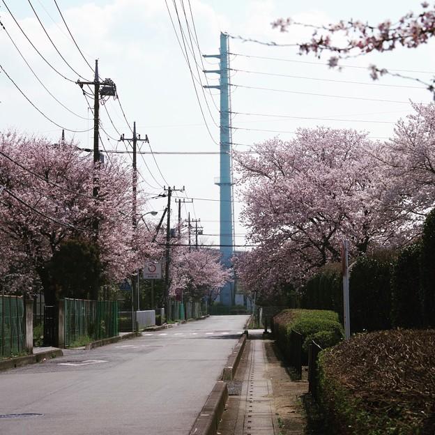 川越工業団地の桜