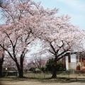 写真: 鹿飼公園の桜