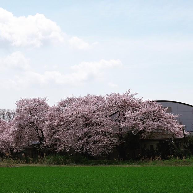 写真: 芳野中学校体育館と桜