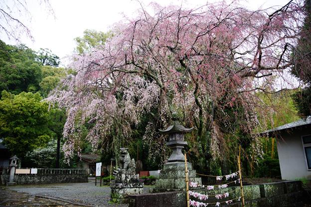 伊豆山神社の枝垂桜