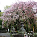写真: 伊豆山神社の枝垂桜