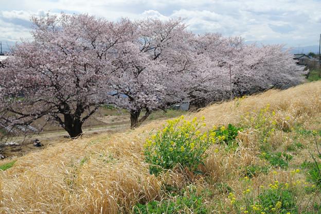 今年の桜と菜の花