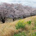 写真: 今年の桜と菜の花