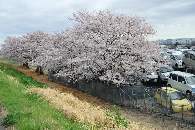 写真: 桜並木の向側