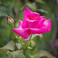 情熱的な薔薇