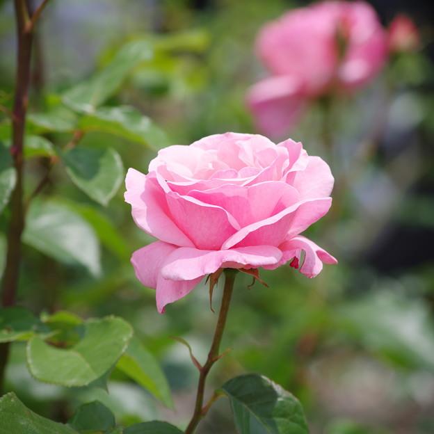 清楚な薔薇