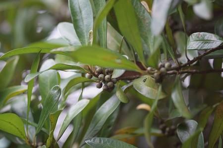 大明橘(タイミンタチバナ)