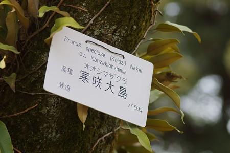 寒咲き大島(カンザキオオシマ)