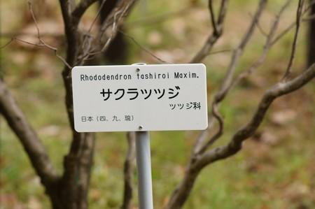 桜躑躅(サクラツツジ)