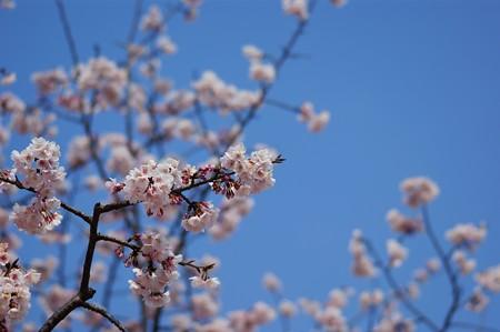 大寒桜(オオカンザクラ)