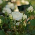 写真: 薔薇 正雪