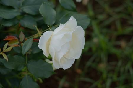 薔薇 ホワイト・マジック