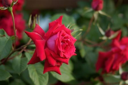 薔薇 アンクル・ウォルター