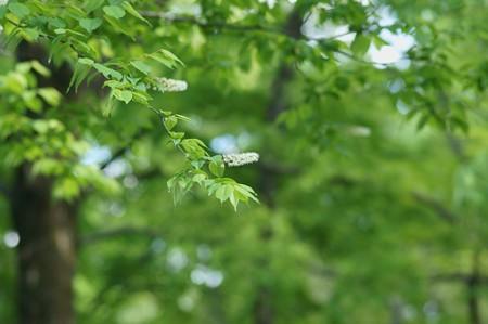 上溝桜(ウワミズザクラ)