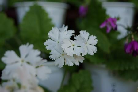 日本桜草 雪月花