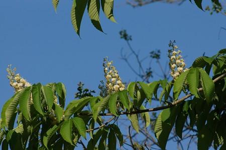 栃の木(トチノキ)