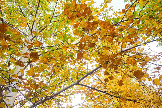 緑葉と黄葉の混ざり合い