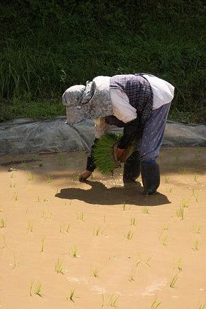 稲を植える