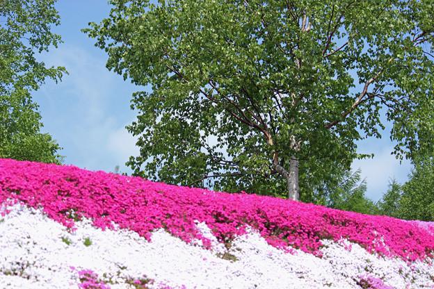 Photos: IMG_7433a芝桜の丘5