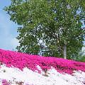 IMG_7433a芝桜の丘5