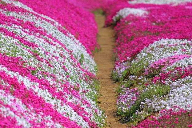 Photos: IMG_7435a芝桜の小路