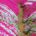IMG_7435a芝桜の小路