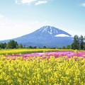 IMG_7811a菜の花と羊蹄山2