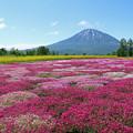 IMG_7851a芝桜と羊蹄山3
