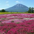 IMG_7853a芝桜と羊蹄山4