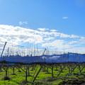 2017.11.19 きょうの風景・雲と梨畑