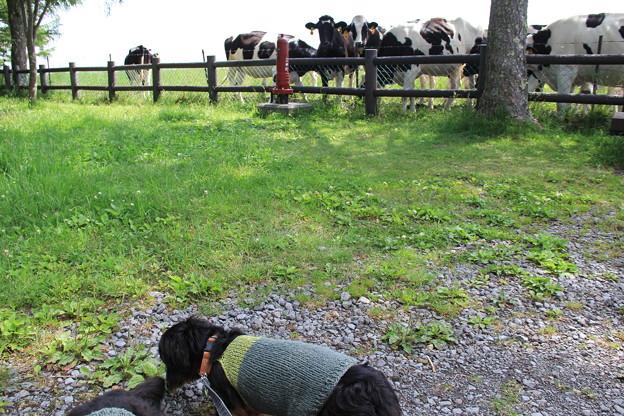牛さんに見られてるような