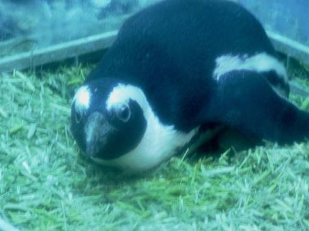 ペンギン居酒屋 抱卵セバスちゃん