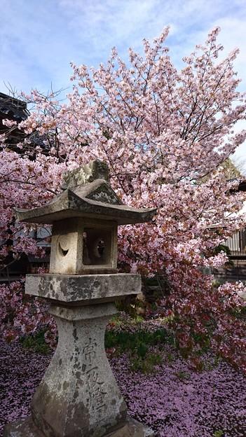 桜(in松前城)