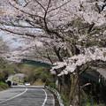 写真: DSC02035箱根ターンパイク桜