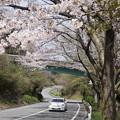 写真: DSC02037箱根ターンパイク桜