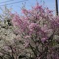 写真: DSC02054箱根ターンパイク桜