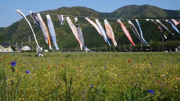 写真: DSC02372 松崎花畑