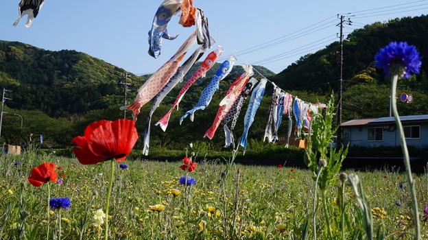 写真: DSC02374 松崎花畑