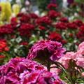 写真: DSC02615新子安公園の花5月